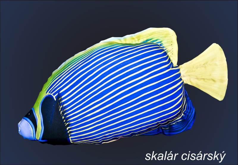 Dekoračný vankúš - Skalár cisársky mini